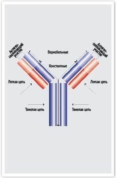 Структура моноклональных антител